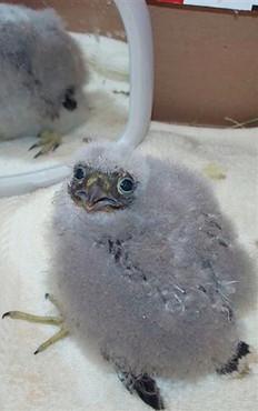 Merlin Falcon Chick