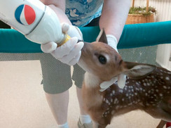 Orphaned Fawn