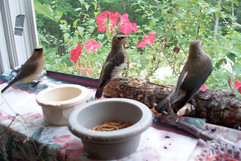 Songbirds prepare for release.jpg