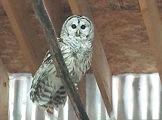 Christmas Miracle Barred Owl.jpg