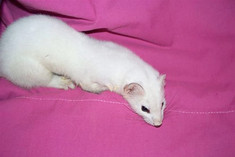 Over-wintered Weasel (Ermine phase)