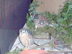 Juvenile Kestrel Falcons