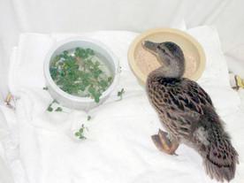 Injured Juvenile Mallard Duck