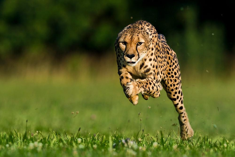 VINFactor Cheetah