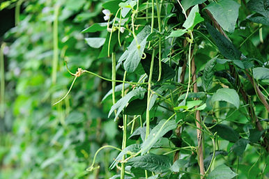 Cowpea plants in growth at vegetable gar