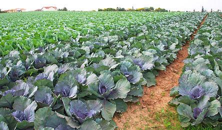 Field of fresh and ripe multicolored col