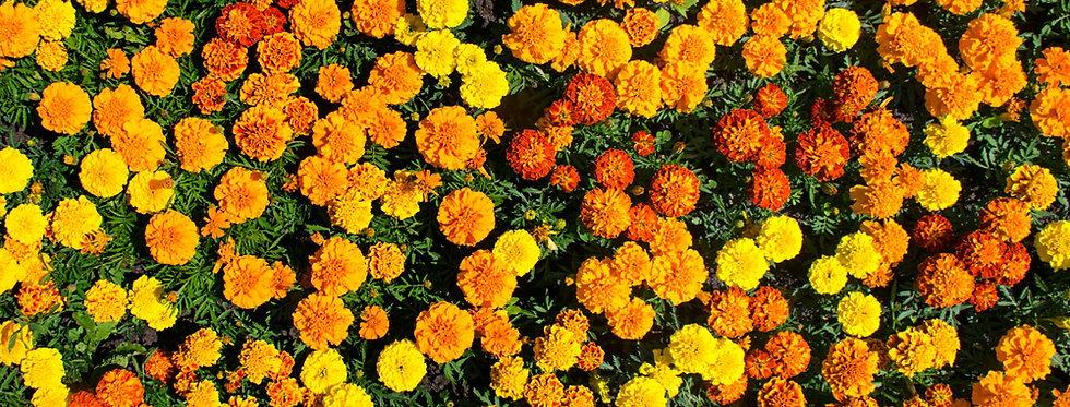 Marigold- Crackerjack Mixed- (Tagetes Erecta)