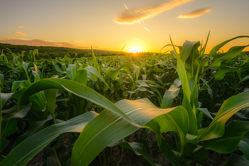 Young green corn growing on the field at