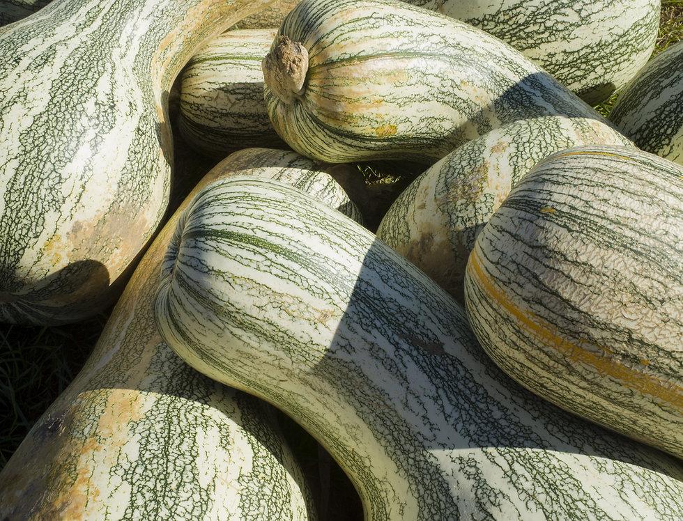Squash, Green Striped Cushaw
