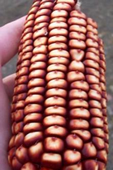 Corn, New York Redrobin Dent