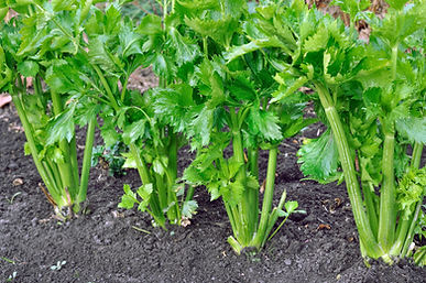 close-up of celery plantation in the veg