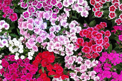 Dianthus - Mixed Pinks - (Dianthus Chinensis)