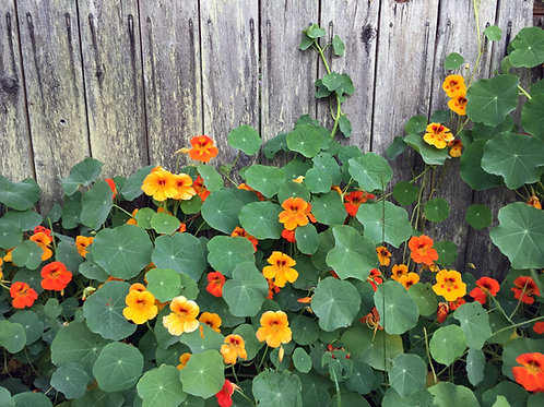 Nasturtium - Jewel Mixed Colors - (Tropaeolum Majus)