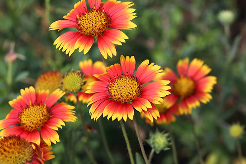 Blanketflower - (Galardia Pulchella)