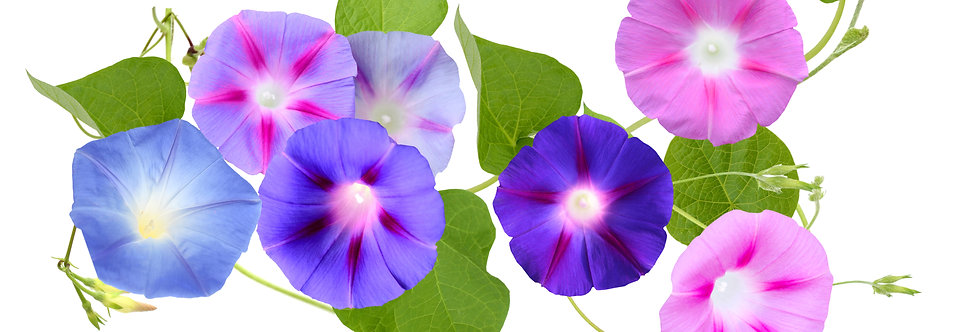 Morning Glory - Mixed Colors - (Ipomoea)