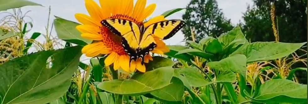 Tuscarora Katenoh Sunflower