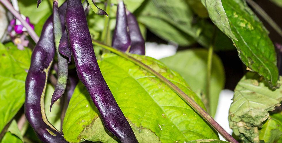 Royalty Purple Pod Bean
