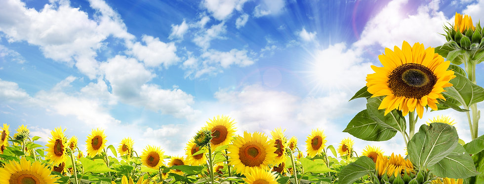 Sunflower, Arikara
