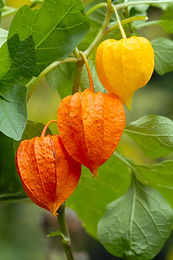 Chinese lantern, Winter Ground Cherry, S