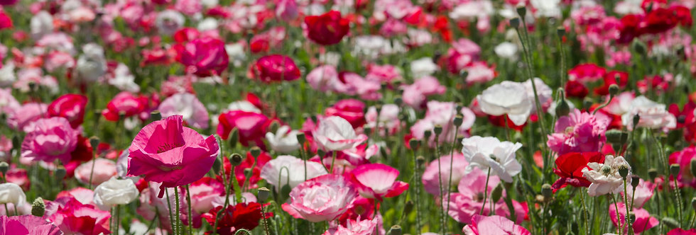 Poppy - Shirley Mixed Colors - (Papaver Rhoeas)