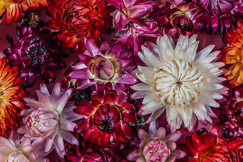 Dried straw flower or colorful flower background. Xerochrysum bracteatum, commonly known a