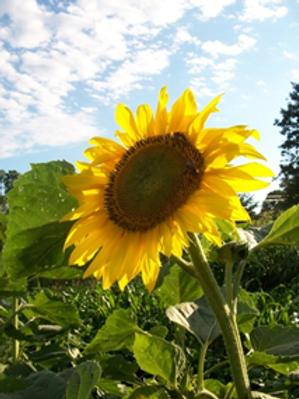 Sunflower, Seneca