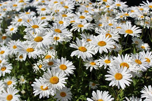 Shasta Daisy -(Chrysanthemum Maximum)