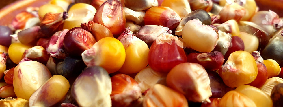 Corn, Seneca Red Stalker