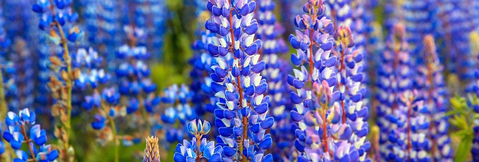 Blue Lupine - (Lupinus Perennis)