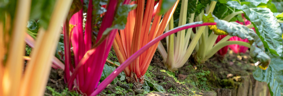 Five Color Silverbeet Swiss Chard
