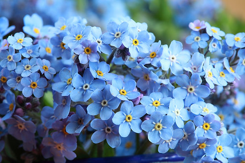 Forget Me Not - Firmament - (Cynoglossum Amabile)