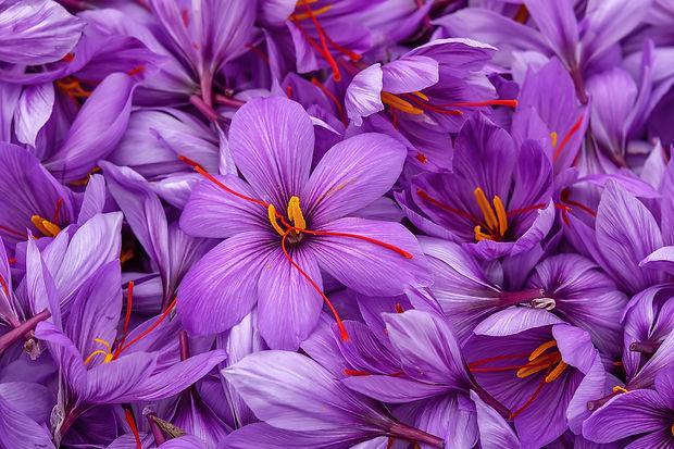 Harvest Flowers of saffron after collection. Crocus sativus, commonly known as the _saffro