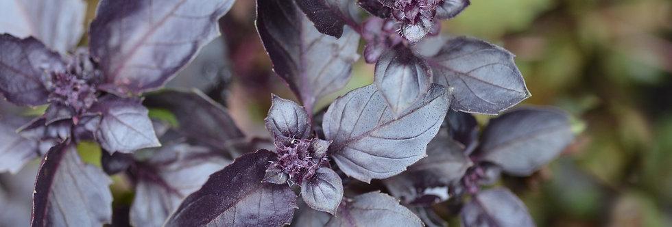 Herb, Purple Dark Opal Basil