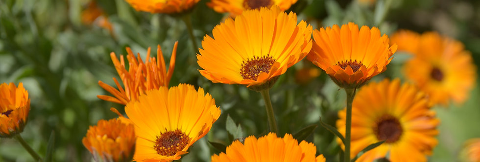 Calendula - Pacific Beauty - (Calendula Officinalis)