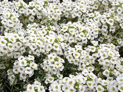Alyssum- Carpet of Snow (Lobularia Maritima)