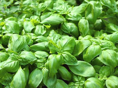 Herb, Sweet Genovese Basil