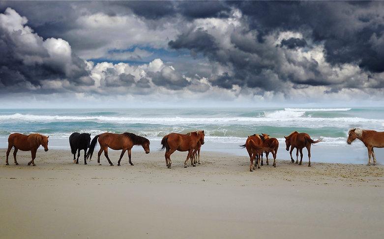 Corolla wild horses on the beach in Nort