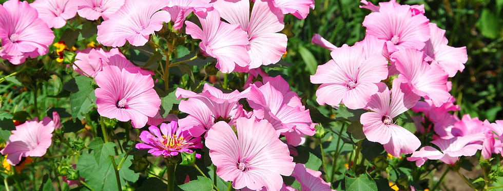 Rose Mallow - (Lavatera Trimestris)