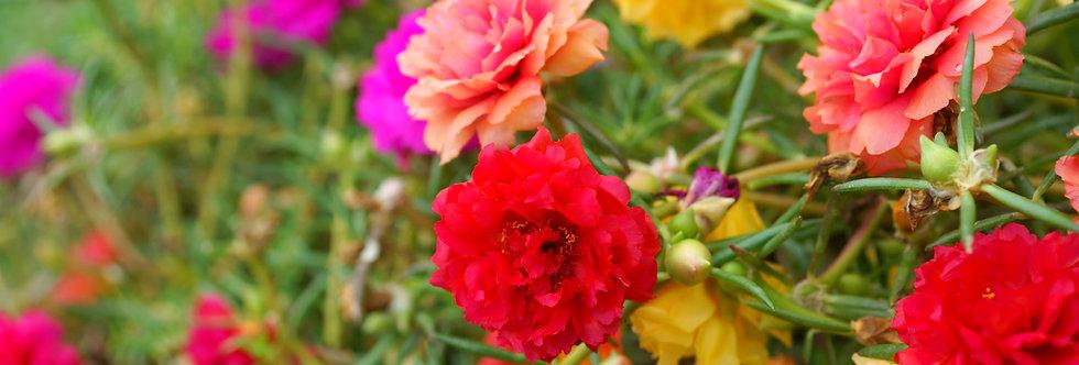 Portulaca - Mixed Colors - (Portulaca Grandiflora)