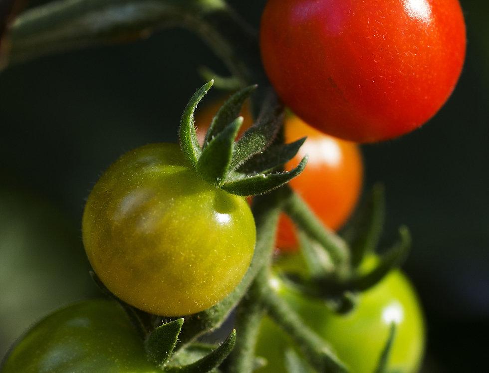 Tomato, Mexico Midget
