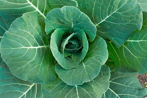 Southern Giant Collards