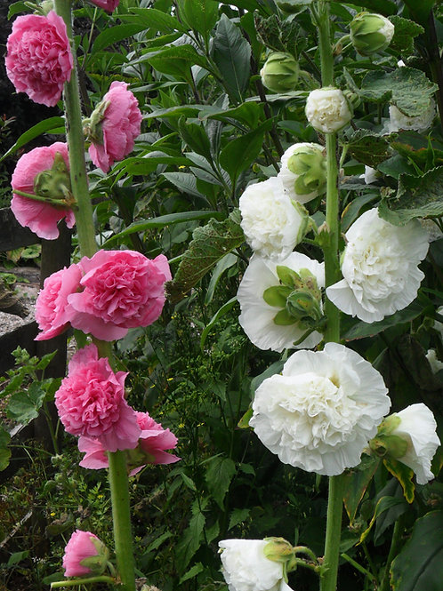 Hollyhock -Chater's Doubled Mixed (Alcea Rosea)
