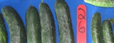 Cucumber, DMR-401