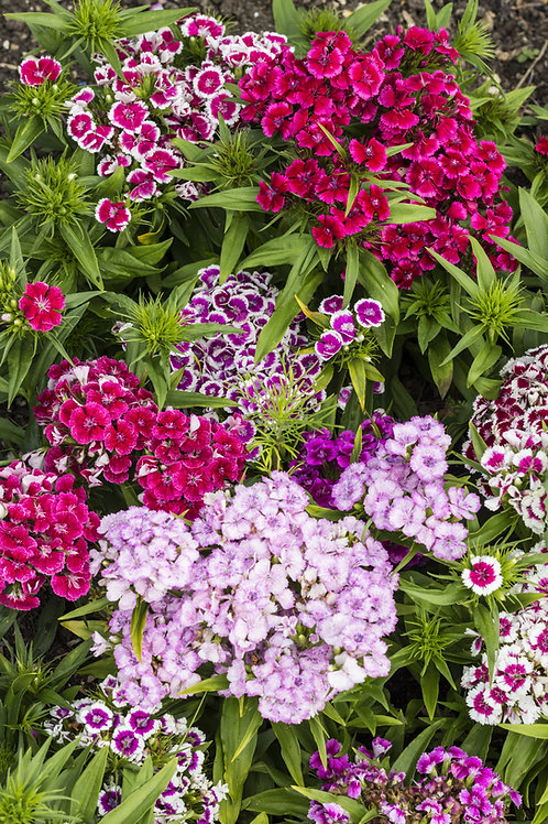 Sweet William - Tall Single Mix -(Dianthus Barbatus)