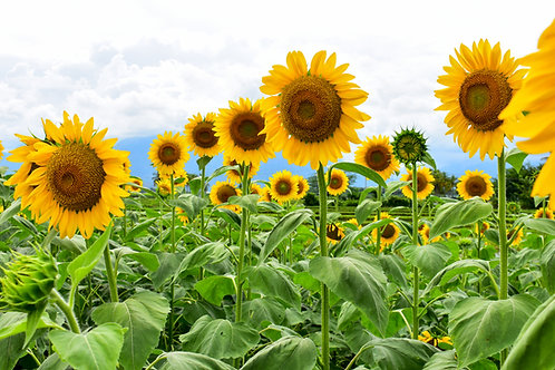 Sunflower - Mammoth - (Helianthus Annuus)