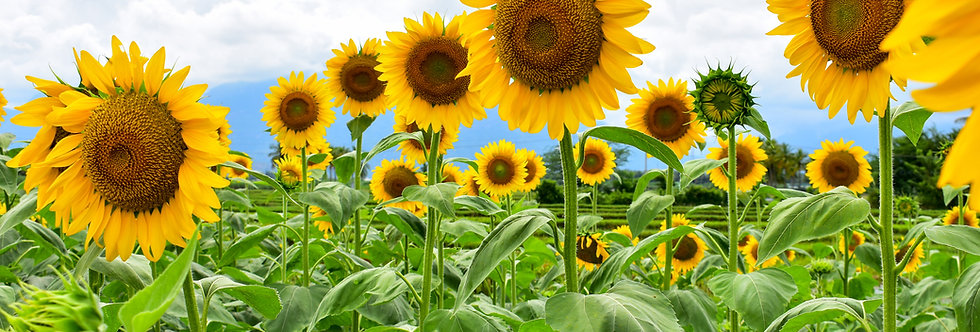Sunflower - Mammoth - (Helianthus Annuus)