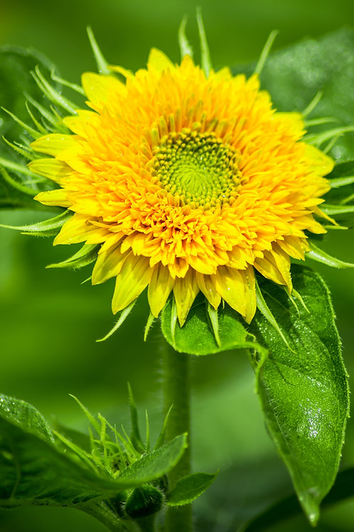 Sunflower - Sungold Dwarf - (Helianthus Annuus)