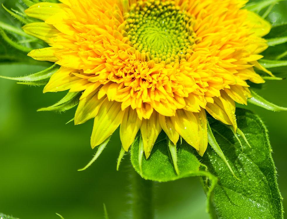 Sunflower - Sungold Dwarf - (Helianthus Annuus)