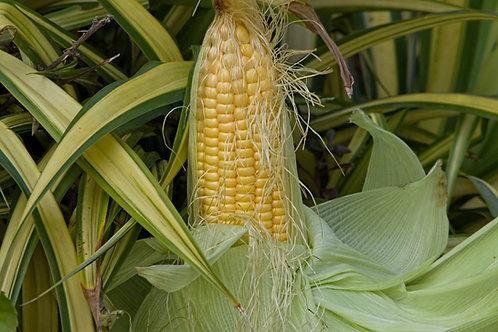 Golden Bantam 8 Row Sweet Corn