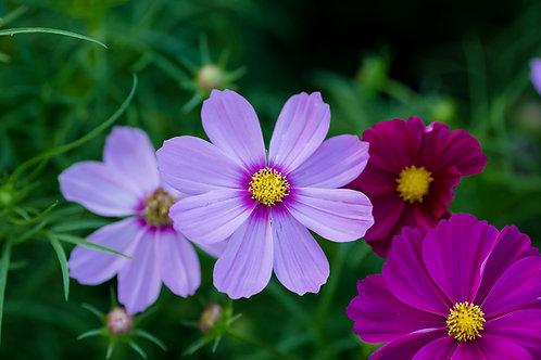 Cosmos Sensation - Mixed Colors - (Cosmos Bipinnatus)